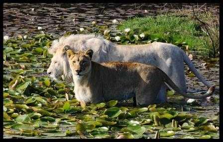 Lions at Tenikwa Wildlife