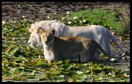 Lions at Tenikwa in the water