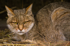 Male African Wild Cat