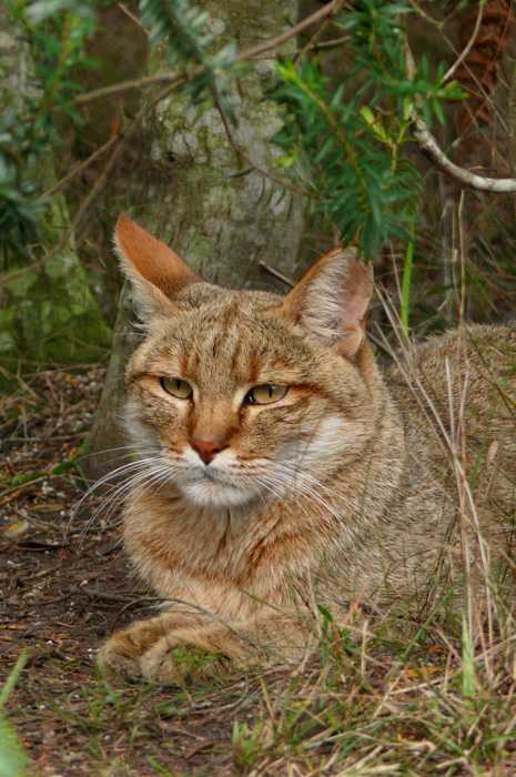 African Wild Cat Fact Sheet | Tenikwa Wildlife and ...