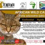 African Wild Cat Facts on indigenous wild cats of Africa Tenikwa Wildlife