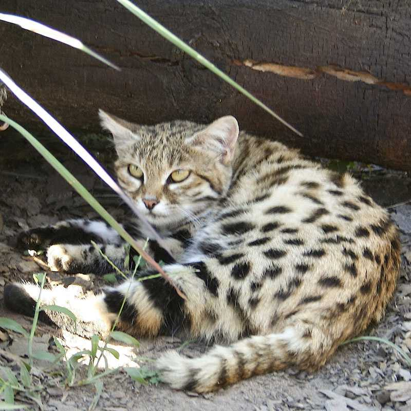 Black Footed Cat Fact Sheet Tenikwa Wildlife And