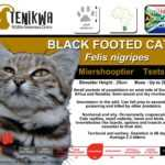 Black Footed Cat Facts Indigenous wild cats of Africa
