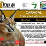 Caracal facts indigenous wild cats of Africa