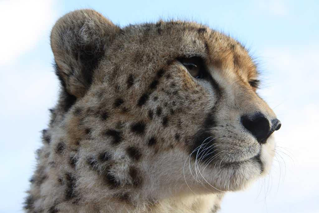 Cheetah Fact Sheet   Tenikwa Wildlife and Rehabilitation Centre
