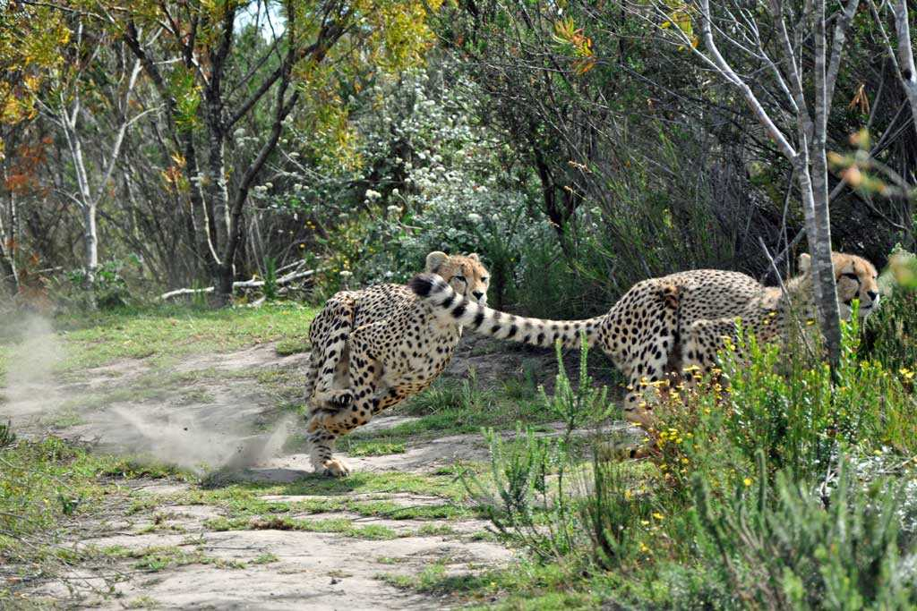 Cheetah Fact Sheet | Tenikwa Wildlife and Rehabilitation Centre