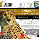 Cheetah Facts indigenous wild cats of Africa Tenikwa Wildlife