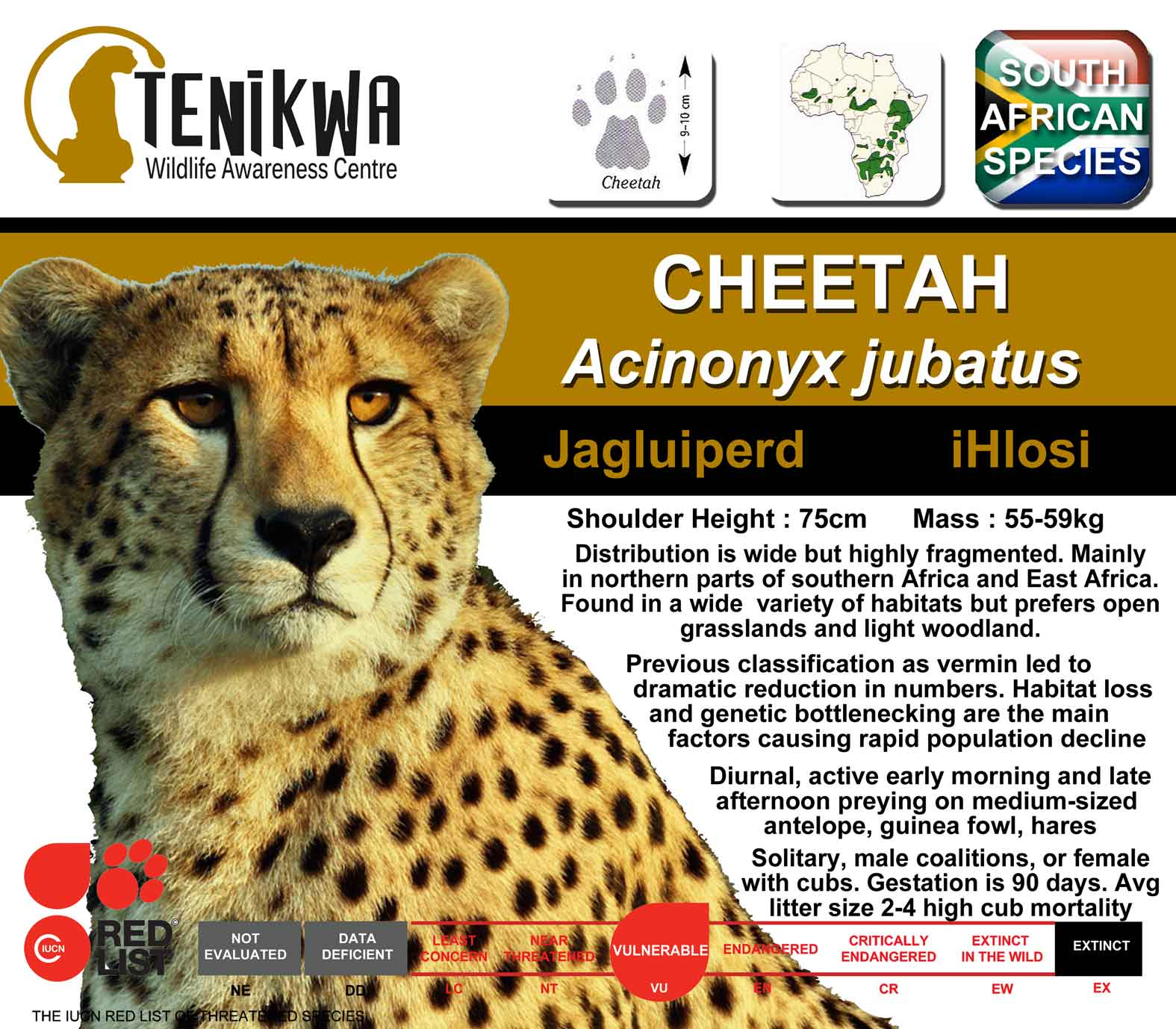 cheetah endangered essay cheetah fact sheet tenikwa wildlife and rehabilitation centre