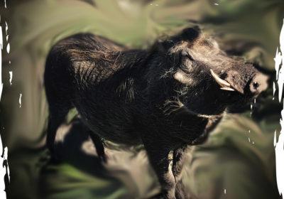 Digger the warthog at Tenikwa