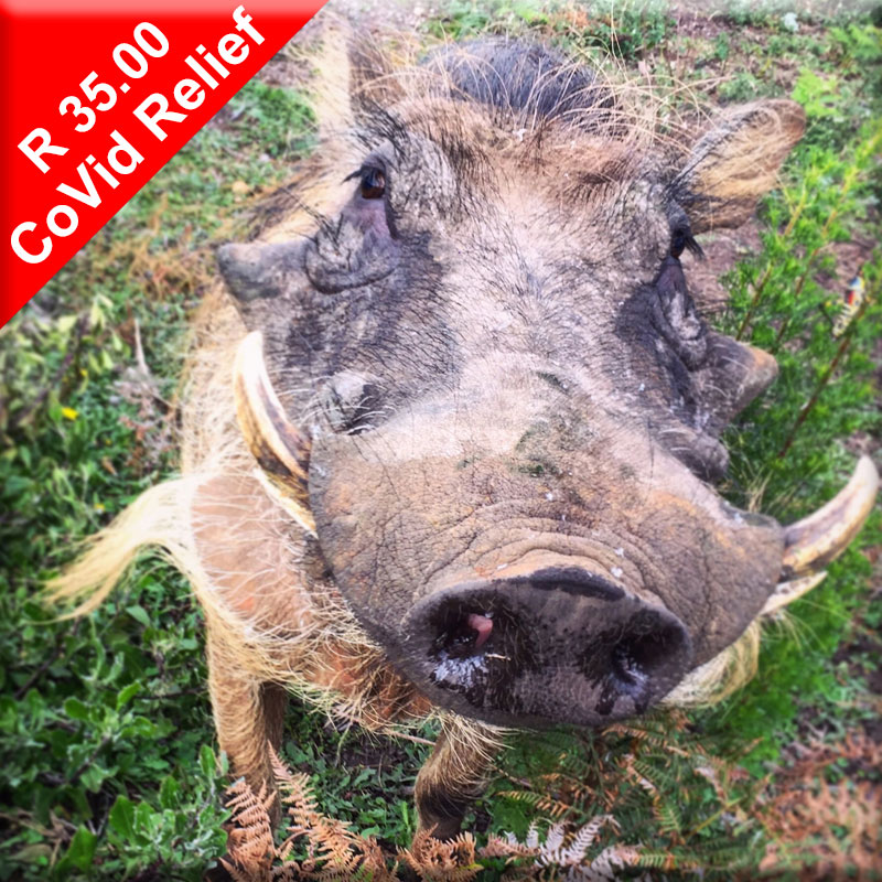 Donate to help feed Digger the warthog during Covid