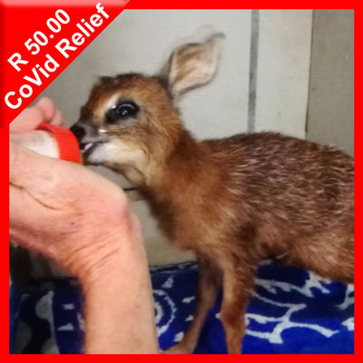 Cape Grysbok being fed milk in rehab at Tenikwa