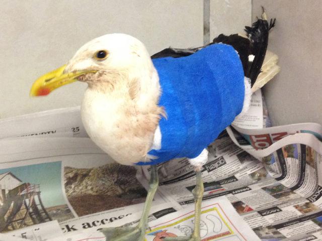Marine bird rehabilitation