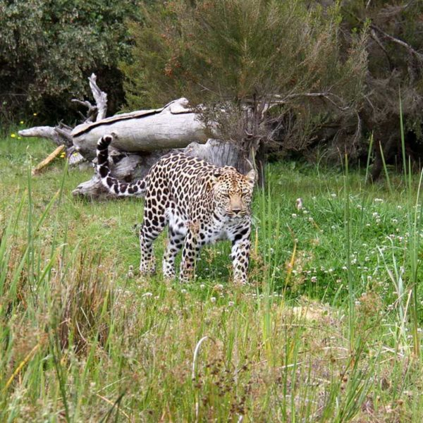 Leopard at Tenikwa
