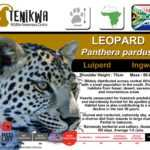 Leopard Facts indigenous wild cat of Africa