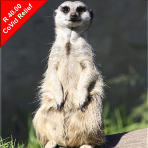 Donate to help feed meerkats during Covid