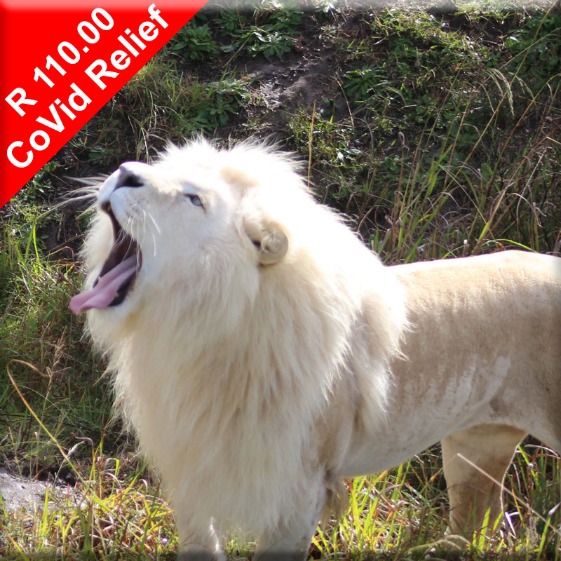 Donate to help feed lions during Covid