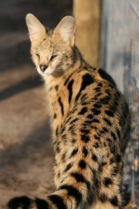 Serval Fact Sheet Tenikwa Wildlife And Rehabilitation Centre