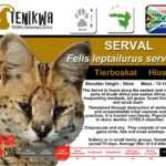 Serval Facts Tenikwa Wildlife