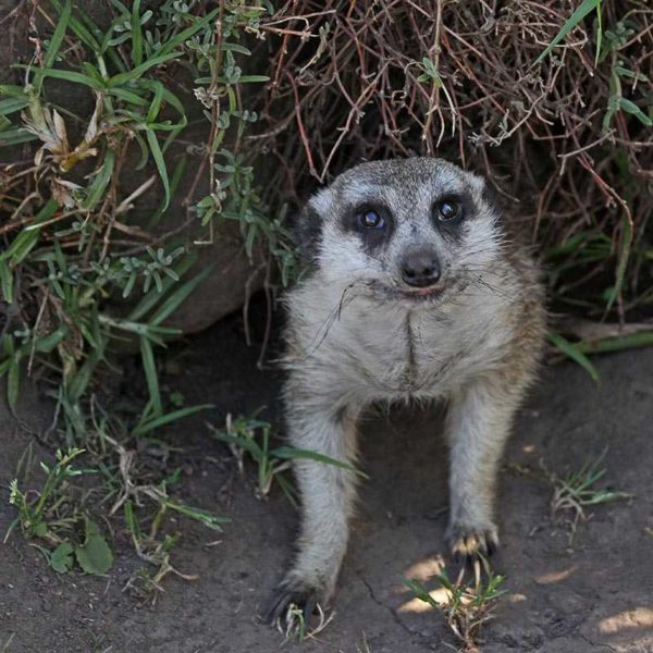Meerkat at Tenikwa