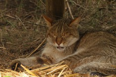 Male African Wild Cat vocalising