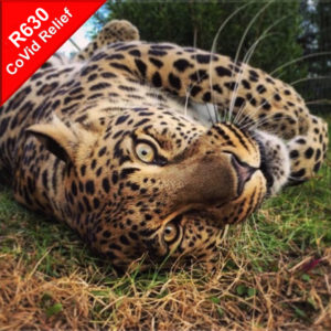 Donate to help feed Zwe the leopard during Covid