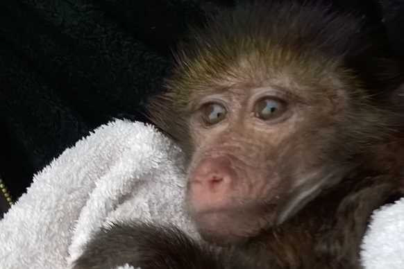 Baboon baby at Tenikwa Wildlife Rehabilitation