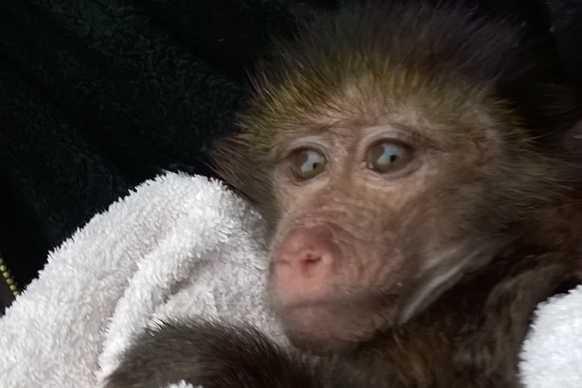 Baboon baby at Tenikwa Wildlife Rehabilitation