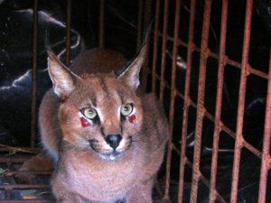 Caracal under Rehabilitation at Tenikwa Wildlife